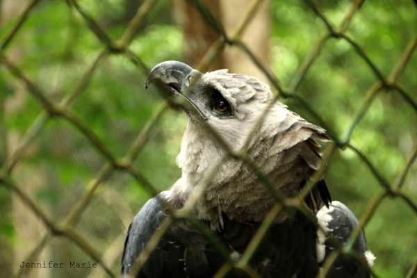 The Harpy eagle is the largest in the Americas and one of the largest in the world. And they can turn their heads completely around, just like an owl.