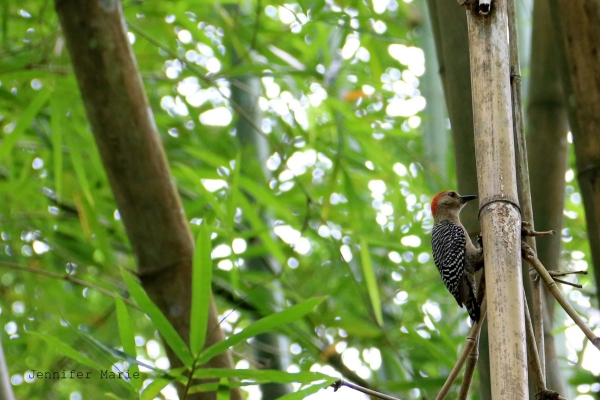 I love red-headed woodpeckers =)